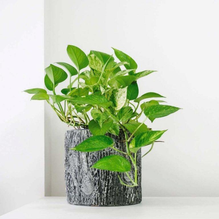 Pothos Plant